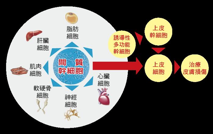 間葉幹細胞是再生醫學的關鍵poto1_媽媽教室_幹細胞_成人幹細胞_臍帶血費用_臍帶血公捐_臍帶血功能